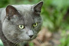 Portret młody brytyjski kota odprowadzenie w trawie zdjęcia royalty free