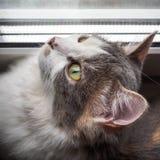 Portret młody kot ciekawie przyglądający w górę okno przy przez stor zdjęcia stock