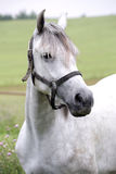 Portret młody siwieje barwionego ogiera na paśniku przy zwierzęciem obrazy royalty free