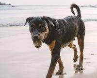 Portret młody uliczny bezdomny pies z czarni włosy przy denną plażą Obraz Royalty Free