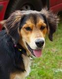 Portret młody pies Fotografia Stock