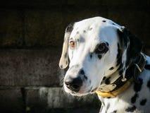 Portret m?ody purebred dalmatian na czarnym tle zdjęcia royalty free