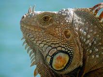 Portret Męska iguana Fotografia Stock