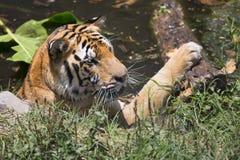 Portret męski dziki tygrys Obraz Stock