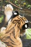 Portret męski dziki tygrys Obrazy Royalty Free