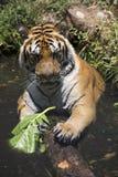 Portret męski dziki tygrys Zdjęcia Royalty Free