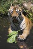 Portret męski dziki tygrys Obraz Royalty Free