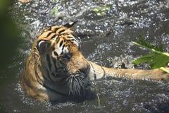 Portret męski dziki tygrys Fotografia Royalty Free