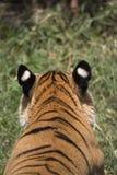Portret męski dziki tygrys Obrazy Stock