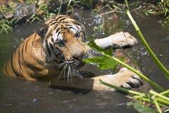 Portret męski dziki tygrys Fotografia Stock