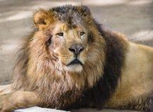 Portret męski lew Obrazy Royalty Free