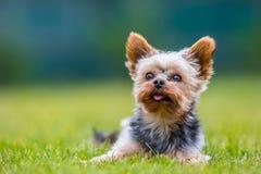 Portret męski lub kobieta Yorkshire Terrier pies Fotografia Stock