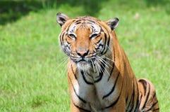 Portret męski tygrys Obrazy Stock