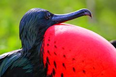 Portret męski Wielki Frigatebird Obraz Stock
