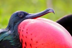 Portret męski Wielki Frigatebird Obrazy Stock