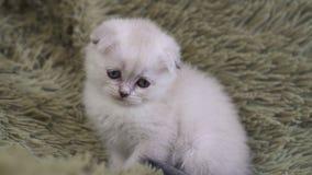 Portret mała śliczna biała osamotniona figlarka zdjęcie wideo