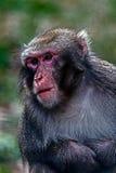 Portret małpa 5 Zdjęcia Stock