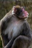 Portret małpa 2 Obraz Royalty Free