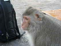 Portret małpuje wokoło Udon Thani w Północno-wschodni Thailsn, Fotografia Stock