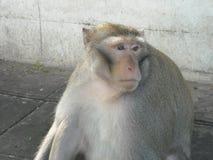 Portret małpuje wokoło Udon Thani w Północno-wschodni Thailsn, Zdjęcie Royalty Free