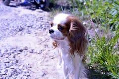 Portret mały dekoracyjny pies, nonszalancki królewiątka Charles spaniel obraz stock