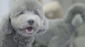 Portret mały szary psi włosy w groomers salonie zamkniętym w górę Fachowy zwierzęcy ostrzyżenie i tytułowanie odzwierciedlający zbiory