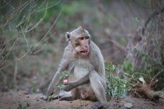 Portret małpa Fotografia Stock