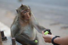 Portret małpa Obrazy Royalty Free
