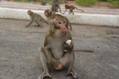 Portret małpa Zdjęcie Royalty Free
