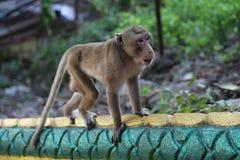 Portret małpa Zdjęcie Stock