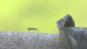 Portret macro grote mier die op droge boom lopen stock footage