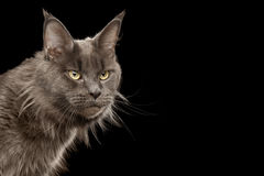 Portret Maine Coon kot na Czarnym tle Obrazy Stock