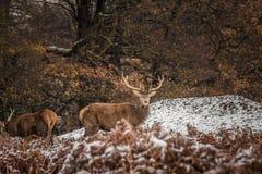 Portret majestatyczny czerwonego rogacza jeleń w zimie obraz royalty free