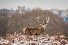 Portret majestatyczny czerwonego rogacza jeleń w zimie zdjęcia royalty free