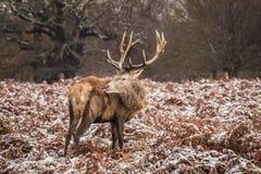 Portret majestatyczny czerwonego rogacza jeleń w zimie zdjęcia stock
