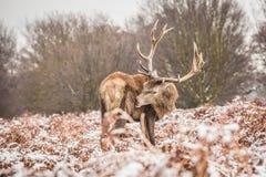 Portret majestatyczny czerwonego rogacza jeleń w zimie zdjęcie royalty free