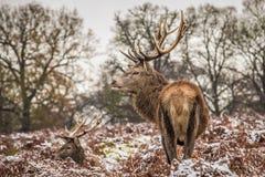 Portret majestatyczny czerwonego rogacza jeleń w zimie zdjęcie stock