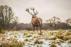 Portret majestatyczny czerwonego rogacza jeleń w zimie obrazy royalty free