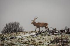 Portret majestatyczny czerwonego rogacza jeleń w zimie fotografia royalty free