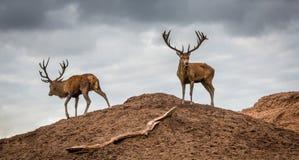 Portret majestatyczny czerwonych deers jeleń w jesień spadku obrazy stock