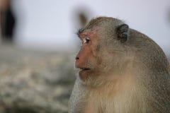 Portret makak w górę fotografia royalty free