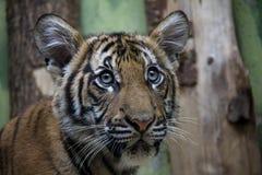 Portret Malayan Tygrysi lisiątko obraz royalty free