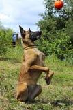 Portret Malinois psi bawić się żuć zabawki w parku Obraz Stock
