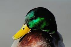 Portret Mallard kaczka Drake Obraz Royalty Free