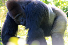 Portret mannelijke gorilla Stock Foto's