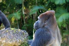 Portret mannelijke gorilla bij dierentuin Stock Foto's