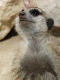 Portret meerkat Zdjęcia Stock