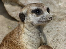 Portret meerkat Zdjęcia Royalty Free