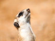 Portret meerkat, aka suricate, - Suricata suricatta Kalahari pustynia, Botswana, Afryka Zdjęcie Stock