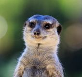 Portret Meerkat Suricata suricatta, Afrykański rodzimy zwierzę, mały carnivore należy mangusty rodzina zoo fotografia royalty free